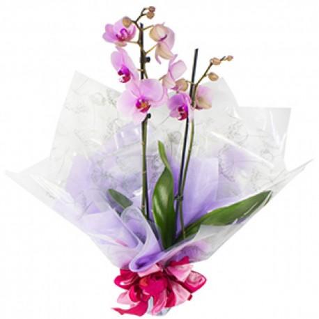 Florist Choice Orchid Plant